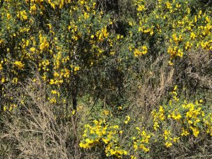Blackberries and Scotch Broom – Bad in Wildfires!